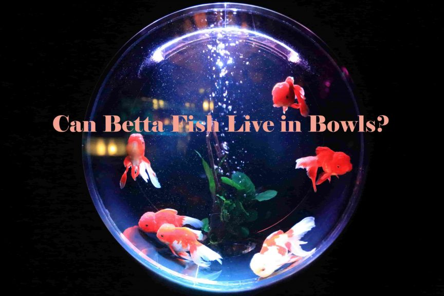 Can Betta Fish Live in Bowls?