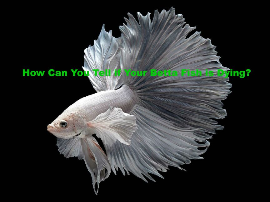 Betta Fish is Dying
