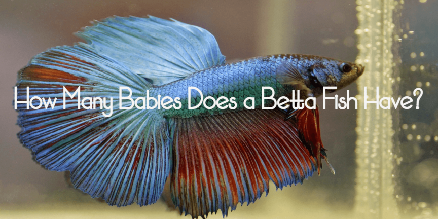 How Many Babies Does a Betta Fish Have