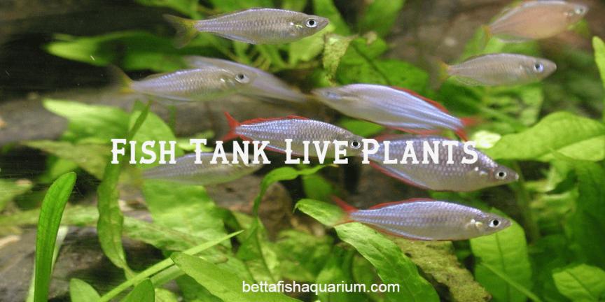 Fish Tank Live Plants
