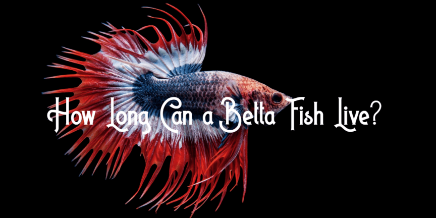 How Long Can a Betta Fish Live