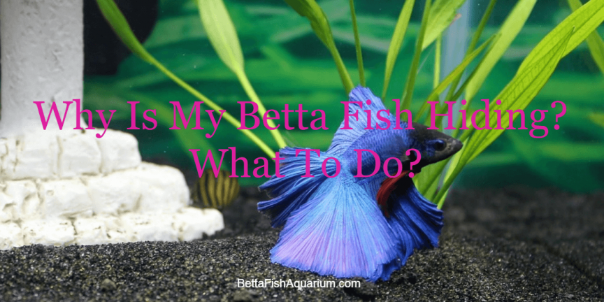 Why Is My Betta Fish Hiding What To Do