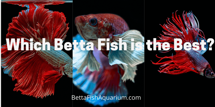 Which Betta Fish is the Best?