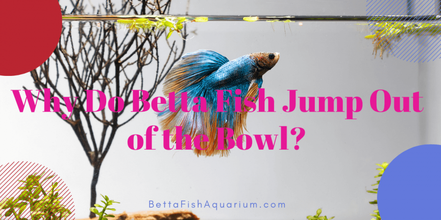 Why Do Betta Fish Jump Out of the Bowl