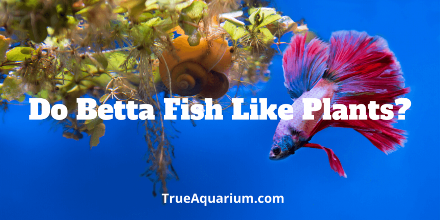 Do Betta Fish Like Plants
